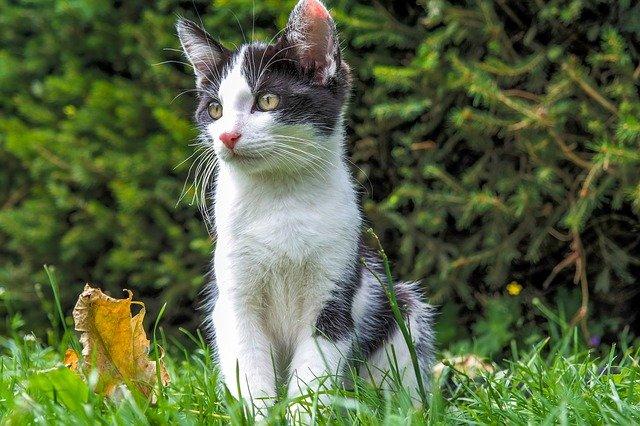 ¿ Quién expandió la raza de gato europeo?