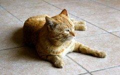 Malattia policistica nel gatto