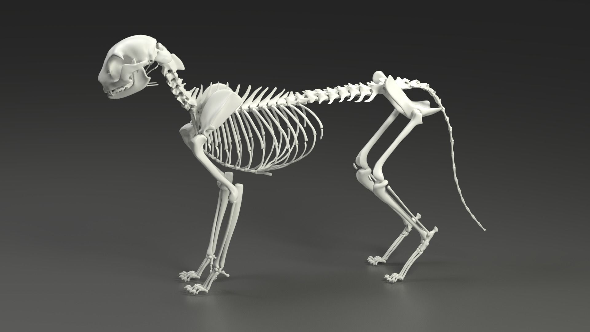 Cat Skeleton  Do You Know How It Looks Like