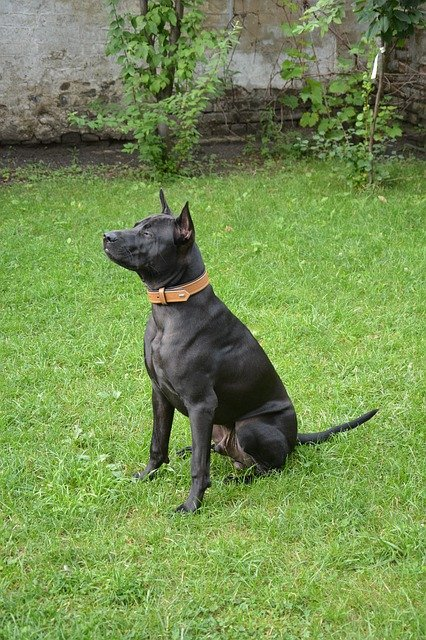 Razze cani: Thai Ridgeback Dog, carattere e caratteristiche
