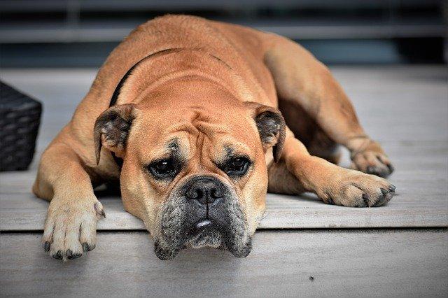 Malattie del cane, la Rickettsia, cause, sintomi e cura