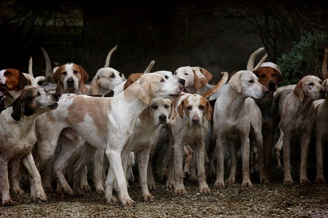 Malattie dei cani da caccia: quali sono le più comuni?