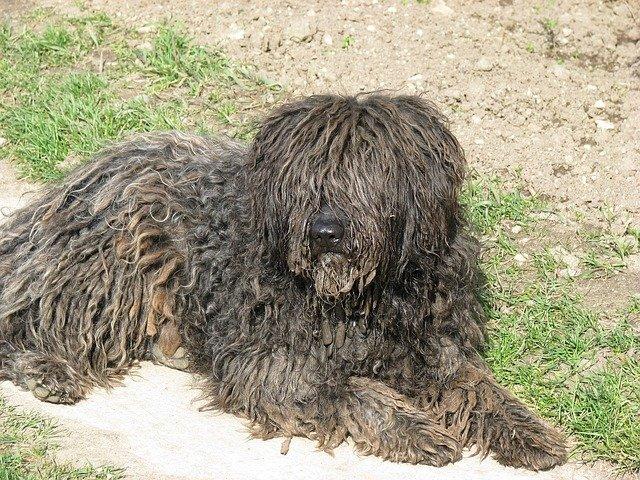 Razze cani: il cane Puli, carattere e caratteristiche