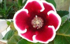 Gloxinia, pianta decorativa e innocua per gli animali