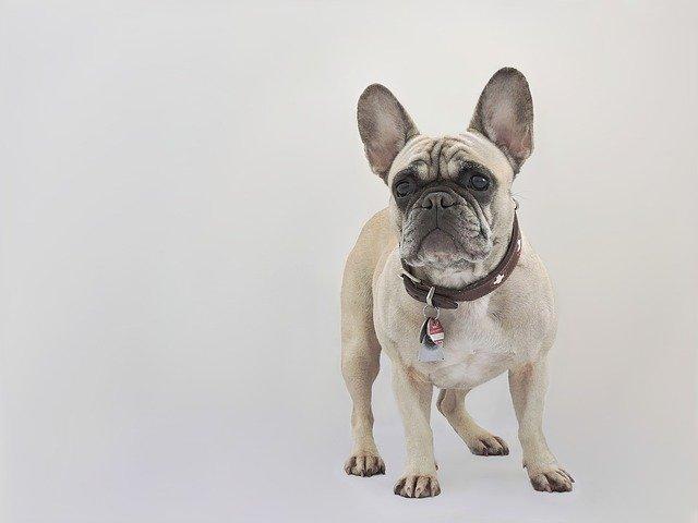 Malattie veneree del cane, le patologie più comuni