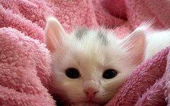 La raza de gato más cariñosa: Los afables gatos