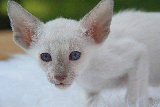Gatto siamese bianco: aspetto e caratteristiche