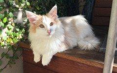 ¿Cuál es la raza de gato más cara? Misterio