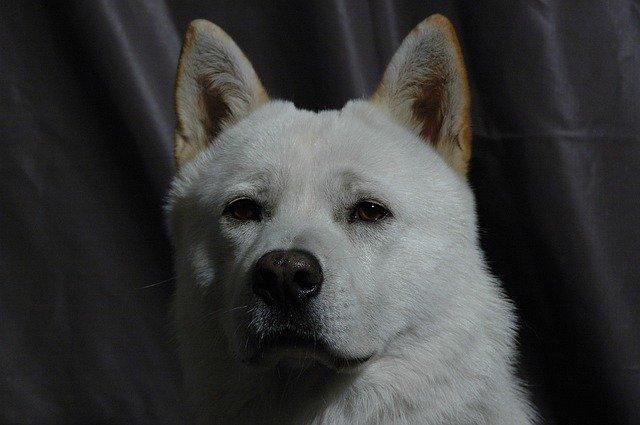 Korean Jindo Dog