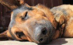 Malattie del cane pastore tedesco