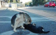 Cane veglia sull'amico investito, scena straziante a Roma