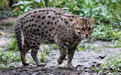 The Fishing Cat: Another Cousin from your Cat's Family