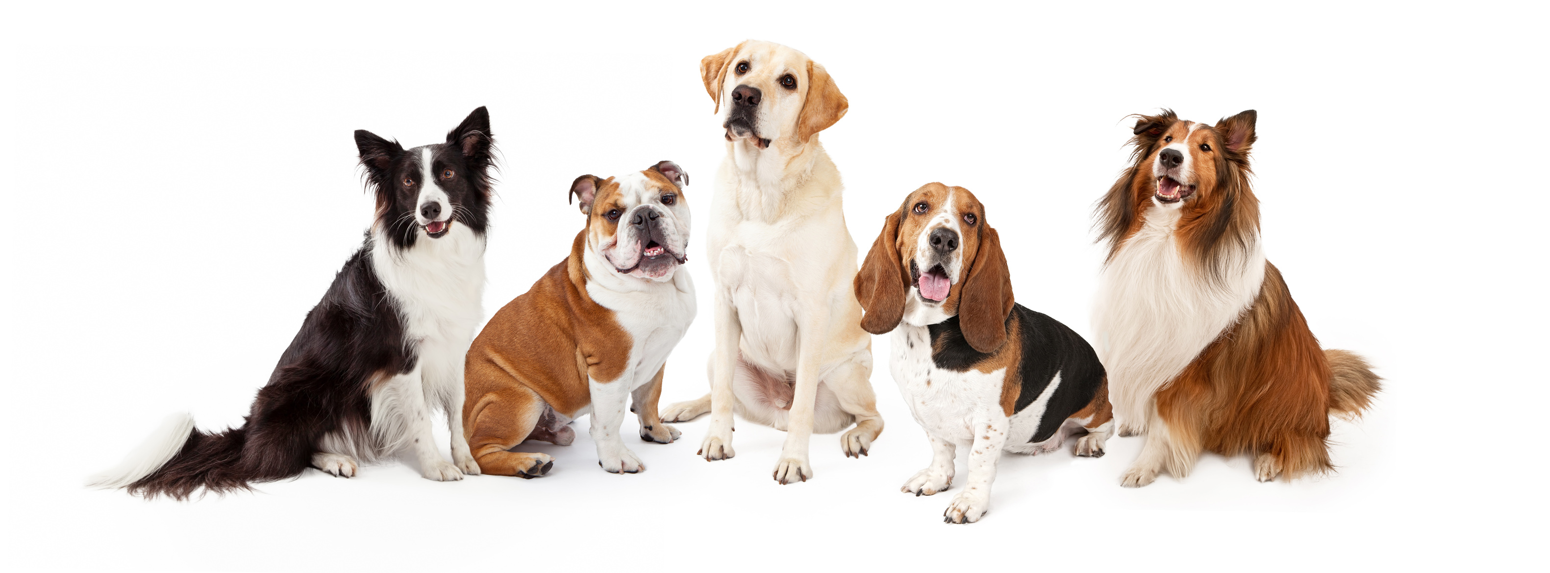 Let's see the Popular and Cute Medium Dog Breeds