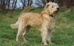 Smoushond olandese, caratteristiche - Razze Cani