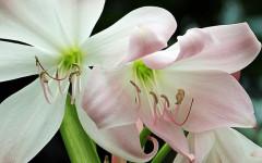 Amarilis: planta perenne tóxica para perros