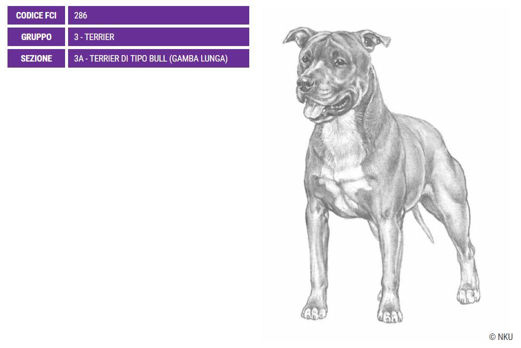 American Staffordshire Terrier, caratteristiche - Razze Cani
