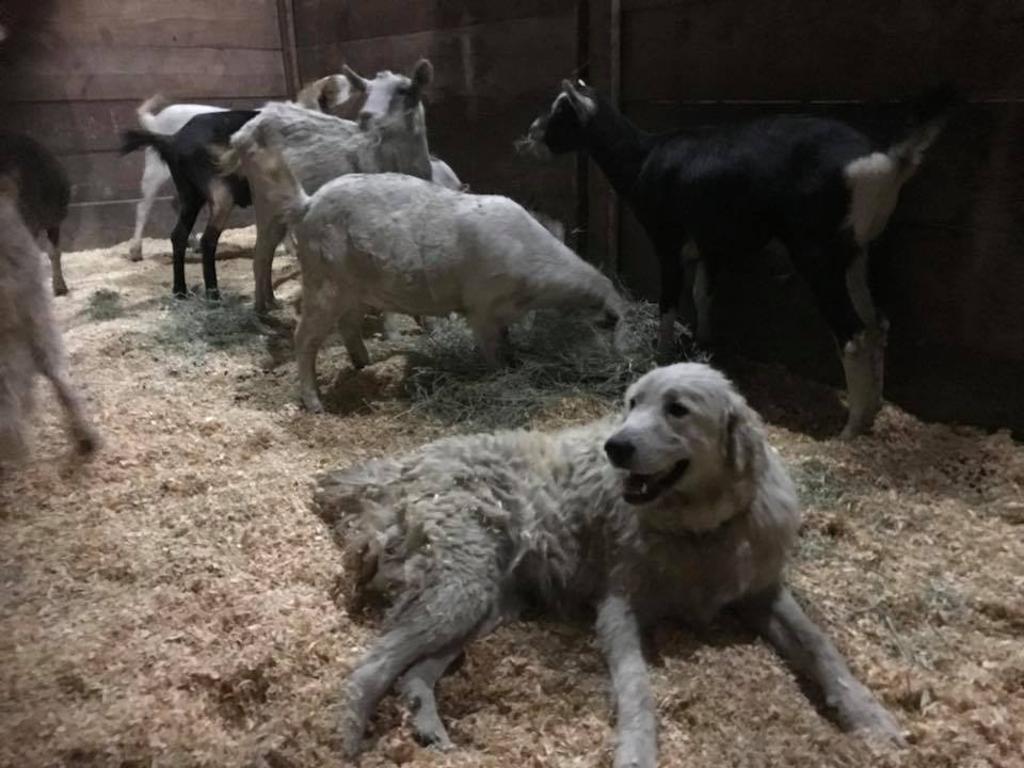 Cane eroe protegge capre durante un incendio in California