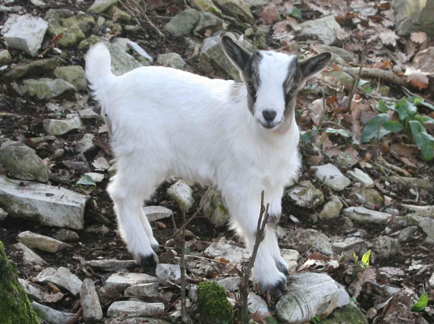 La capra tibetana: Caratteristiche e distribuzione geografica