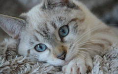 Frontline Plus for Cats: Characteristics and Reviews