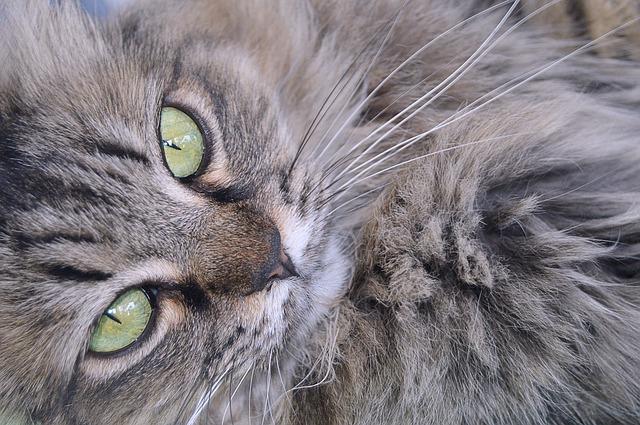 Perché cadono i baffi del gatto? C'è da preoccuparsi?
