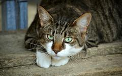 Asma nel gatto: sintomi, diagnosi e terapie