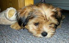 I cani si sentono in colpa quando vengono sgridati?