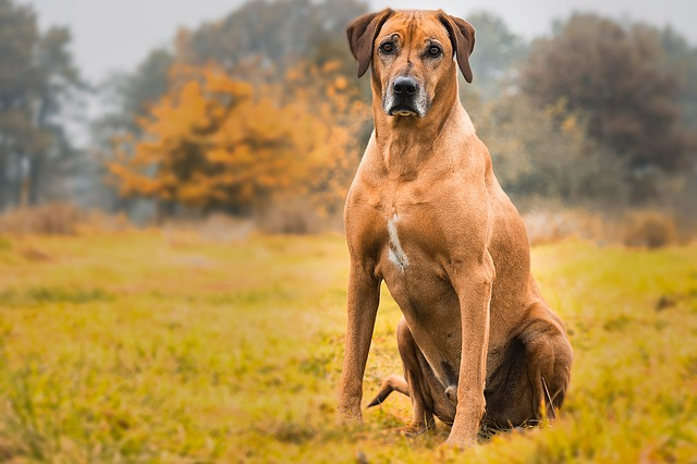 Rhodesian Ridgeback Dog: Origins, Characteristics and Personality