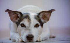 Tetano nel cane: cause, sintomi e terapia