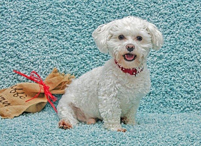 microftalmia nel cane