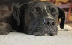 Anemia emolitica immunomediata nel cane, malattie cani