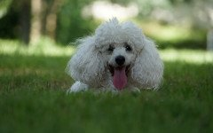 malattia del cane bianco