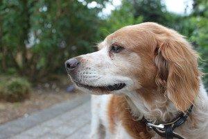 cucciolo di epagneul breton razza cani allevamento della piave antica