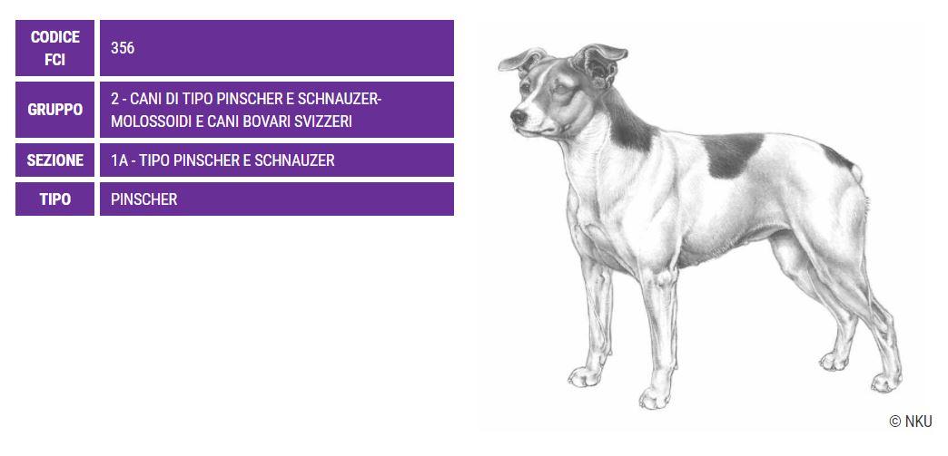 Danish Swedish Farm Dog, caratteristiche - Razze Cani