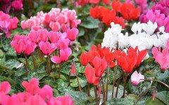 Ciclamen: planta tóxica para evitar en perros
