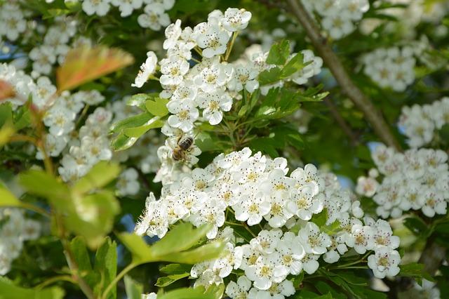 Espino albar: una planta medicinal que debes conocer