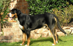 Greater Swiss Mountain Dog: Origins, Characteristics, Personality