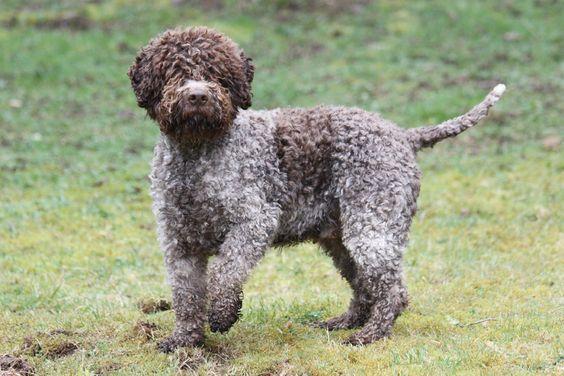 cucciolo di lagotto romagnolo, razza cani, allevamento valle dei medici