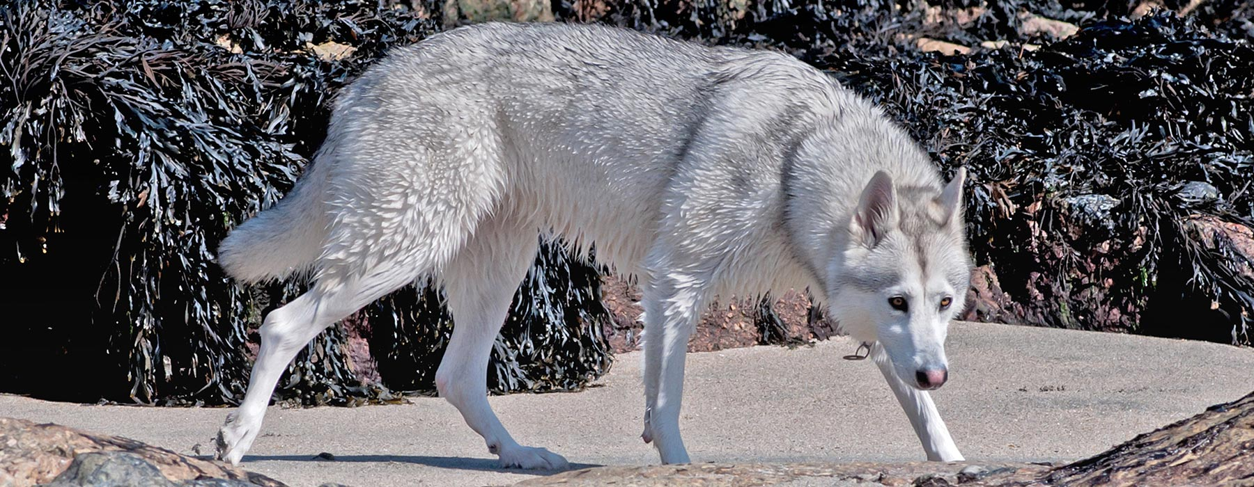 Northern inuit dog