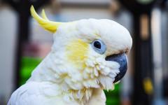 Pappagallo Cacatua: caratteristiche e curiosità