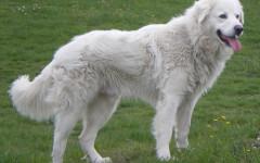Consigli per scegliere un cucciolo di Pastore Maremmano