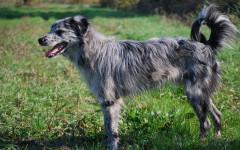 Pastore dei Pirenei a faccia rasa - Razze cani