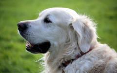 La bronchite si distingue in acuta e cronica. Ecco tutto ciò che c'è da sapere per la cura bronchite del cane.