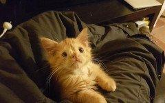 gatto romeo