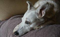 discospondilite canina