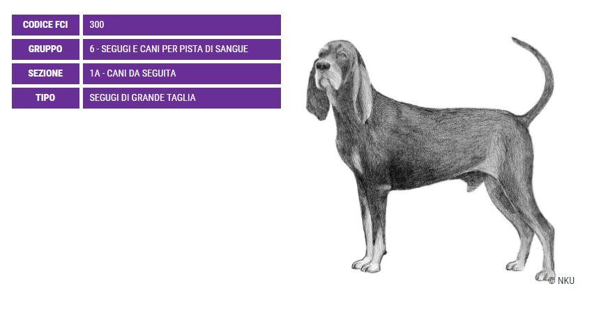 Black and Tan Coonhound, carattere e prezzo - Razze cani