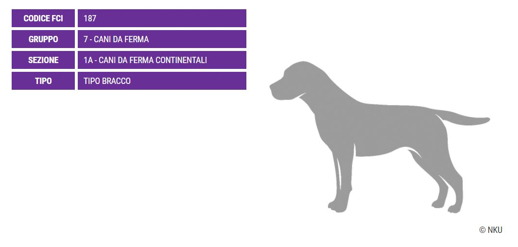 Bracco Portoghese, carattere e prezzo - Razze cani