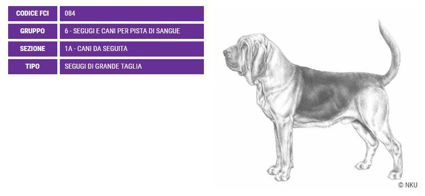 Bloodhound Chien De Saint-Hubert, carattere e prezzo