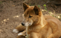 New Guinea Singing Dog: the rarest breed of dog