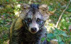 Perro mapache: ¿lo conoces? Características y carácter