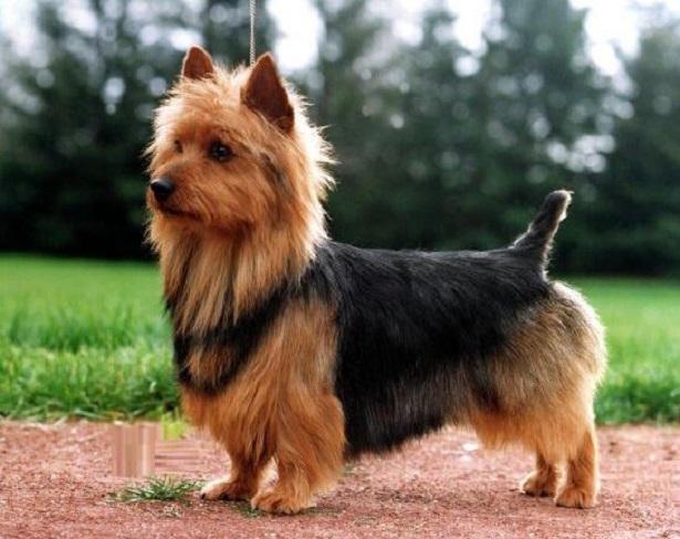 Australian Terrier, carattere e prezzo - Razze Cani